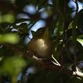 Photos: 木陰のメジロ