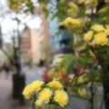 Photos: 街角モッコウ薔薇