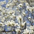 写真: もうハクモクレンが咲いてる