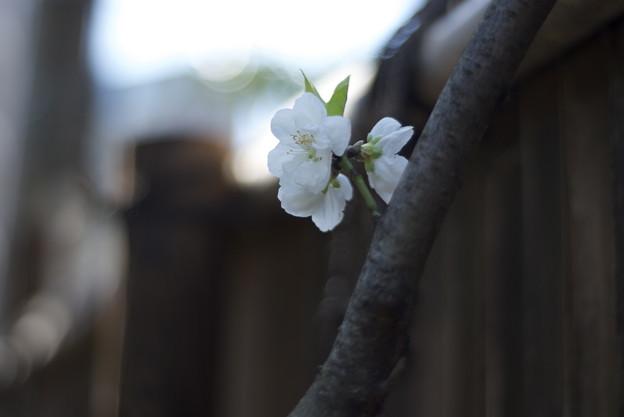 花桃 関白
