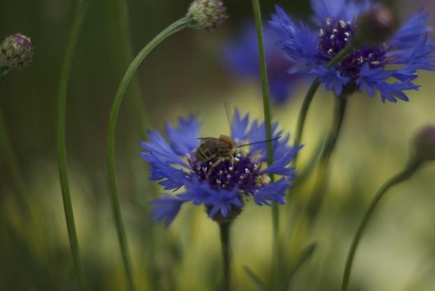 矢車菊に触覚の長い蜂