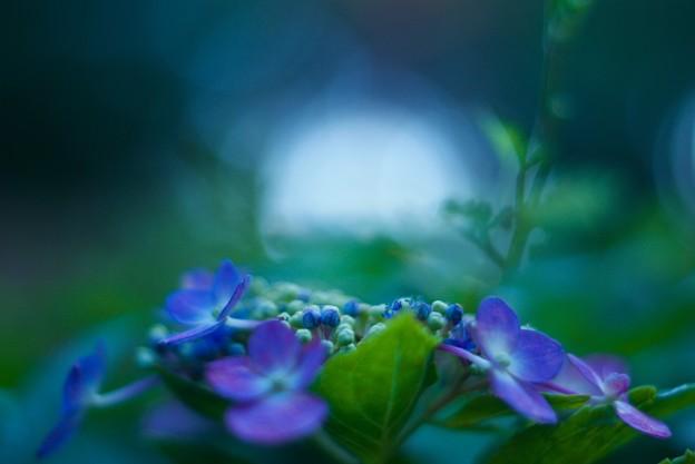 写真: 秋紫陽花