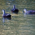写真: 夏の鴨3