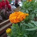 写真: 植栽にセセリん