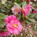 Photos: 山茶花のハッチ