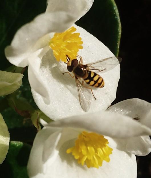 白に花アブ