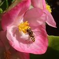 Photos: ピンクに花アブ
