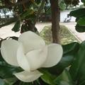 Photos: タイサンボク