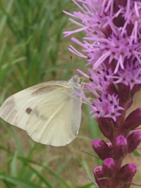 紫に紋白蝶