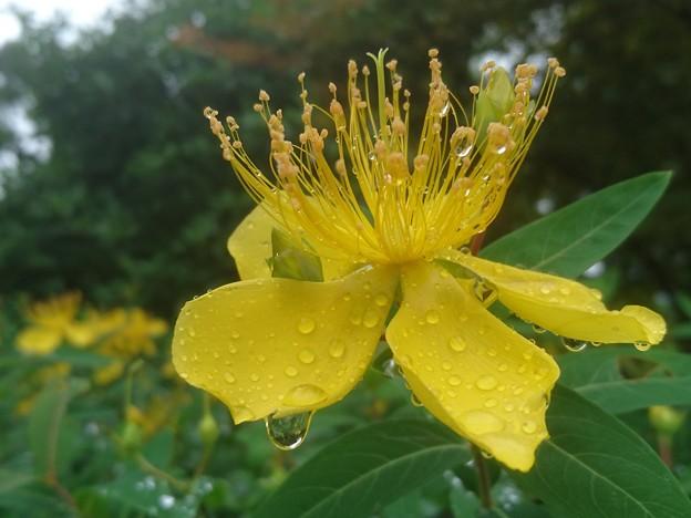 雨上がりのヒペリカムカリシナム