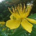Photos: 雨上がりのヒペリカムカリシナム