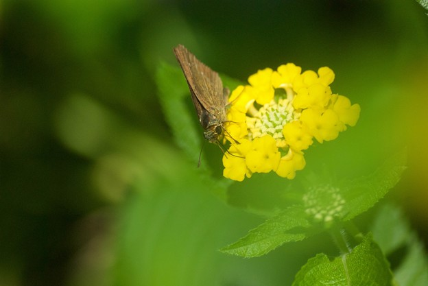 黄ランタナセセリ