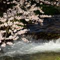 写真: 観音寺川桜-7