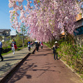 写真: 日中線記念遊歩道枝垂桜-12
