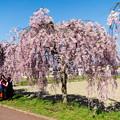 写真: 日中線記念遊歩道枝垂桜-10