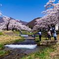 写真: 観音寺川桜-13