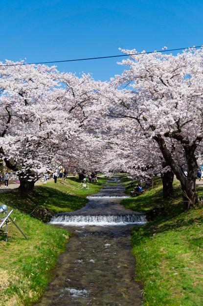 写真: 観音寺川桜-11