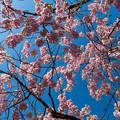 日中線記念遊歩道枝垂桜-16
