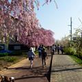 日中線記念遊歩道枝垂桜-15