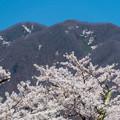 写真: 観音寺川桜-15
