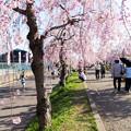 日中線記念遊歩道枝垂桜-25