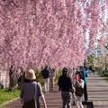 日中線記念遊歩道枝垂桜-27