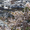 観音寺川桜-31