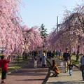 日中線記念遊歩道枝垂桜-31