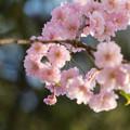 日中線記念遊歩道枝垂桜-33