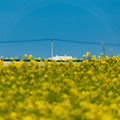 Photos: 青空と菜の花-11