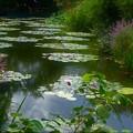 Photos: スイレンの庭