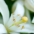 写真: 季節の花 春 みかんの花