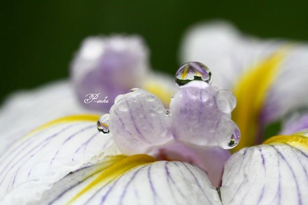 ハナショウブの水玉