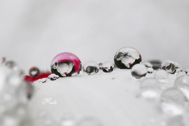 ニチニチソウの水玉