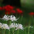 写真: 白と赤