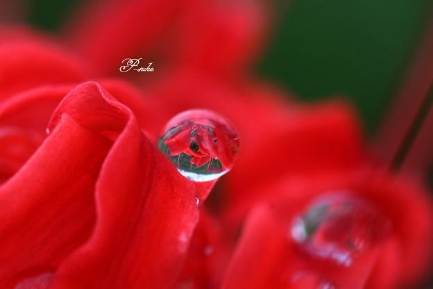 水玉の彼岸花