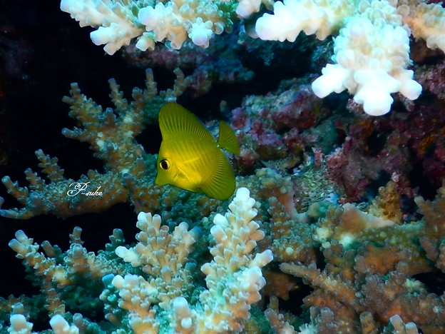 キイロハギ(幼魚)