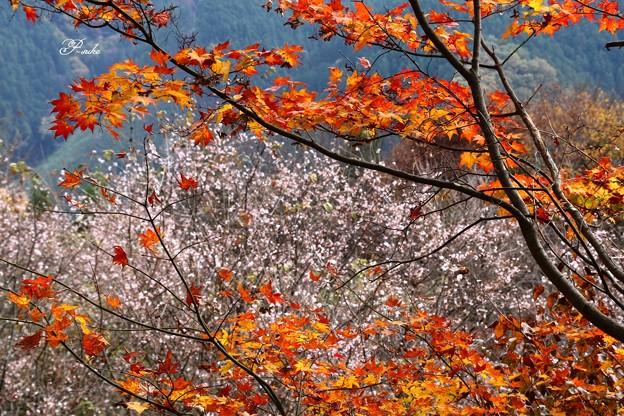 Photos: 紅葉ー桜ー紅葉