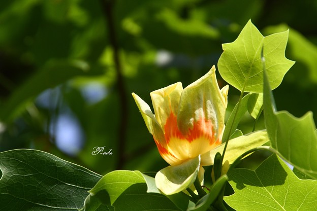 ユリノキの花