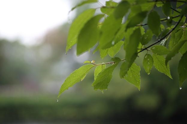 写真: 葉のしずく