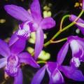 Photos: 紫蘭かな?