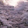 Photos: 桜の園を通過