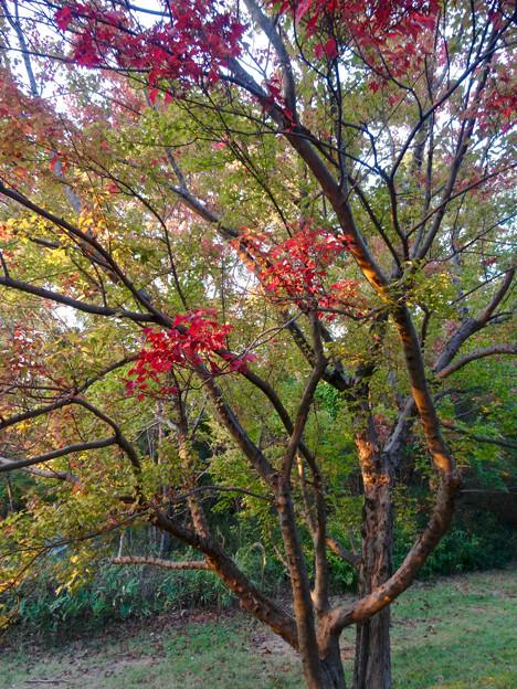 初秋の小幡緑地 No - 31:一部紅葉してた並木