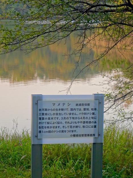 初秋の小幡緑地 No - 35:絶滅危惧種である「マメナシ」の群生地(説明)
