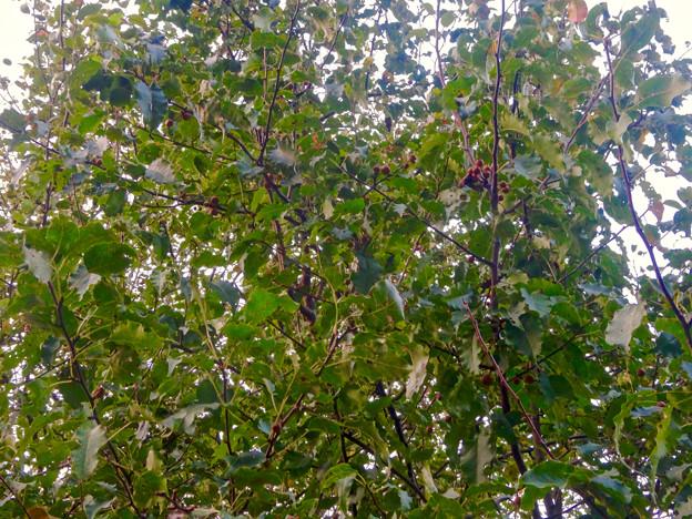 Photos: 初秋の小幡緑地 No - 38:絶滅危惧種である「マメナシ」の群生地(マメナシの実)