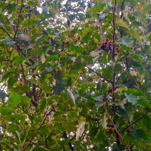 初秋の小幡緑地 No - 39:絶滅危惧種である「マメナシ」の群生地(マメナシの実)
