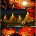 白鳥庭園「紅葉ライトアップ 2015」No - 224:紅葉と雪吊り
