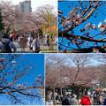 写真: 東山動植物園の桜(2016年3月26日) - 14