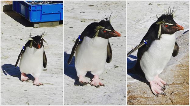 東山動植物園:泳ぐためトコトコ歩いて来た、イワトビペンギン - 8