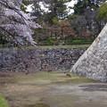 写真: 名古屋城天守閣 お堀の鹿 - 1:桜の下で草を食む2匹の鹿